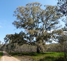River Red Gum by elsha