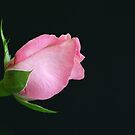 Pink Bud Just for you  by DIANE  FIFIELD