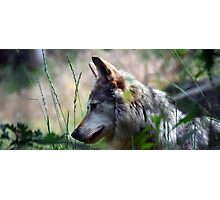 Brother Wolf Photographic Print