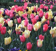 Colorful Spring Garden ~ Temple Square Tulips, Utah by Jan  Tribe