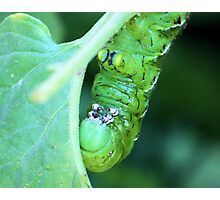 Hungry Hungry...Tomato Worm Photographic Print