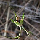 Green Spider Orchid by Rick Playle