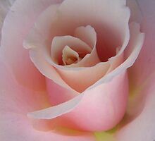 Garden Pleasures - Pastel Pink Rose by Mariaan Maritz Krog Photos & Digital Art
