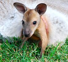 Wallaby Joey by Penny Smith