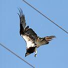 Osprey With Fish In Talons by DARRIN ALDRIDGE