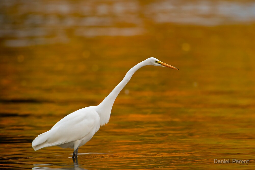Early Morning Egret by Daniel  Parent