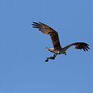 Osprey With Fish In Flight by DARRIN ALDRIDGE