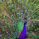 Strutting His Stuff - Peacock by john mcfaul