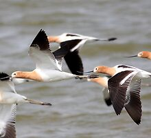 Ballet of the American Avocets by animals