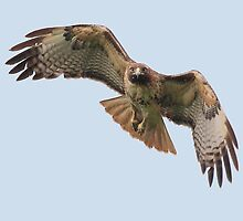 Red-Tailed Hawk Homes in on its Prey by animals