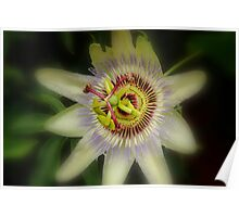 Soft Focus Passion Flower Poster