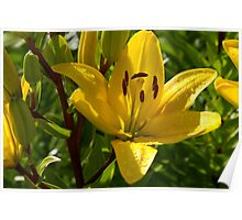 Yellow Asiatic Lily Poster
