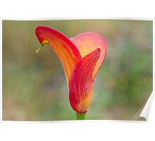 Flame Calla Lily Poster