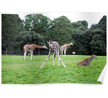 posing giraffes Poster