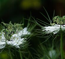 Love-In-A-Mist 2 by John Honeyman
