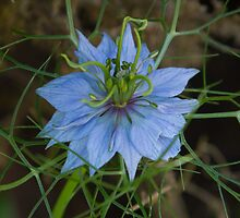 Love-In-A-Mist 3 by John Honeyman