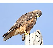 Coopers Hawk With Prey Photographic Print