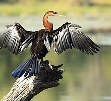 African Darter Drying Off 3 by Aldi221