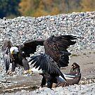 Eagle Family Squabble by A.M. Ruttle