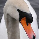 Swan by Paul Holman