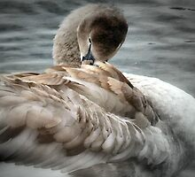 Cygnet To  Swan by naturelover