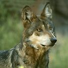 Mexican Grey Wolf by starbucksgirl26