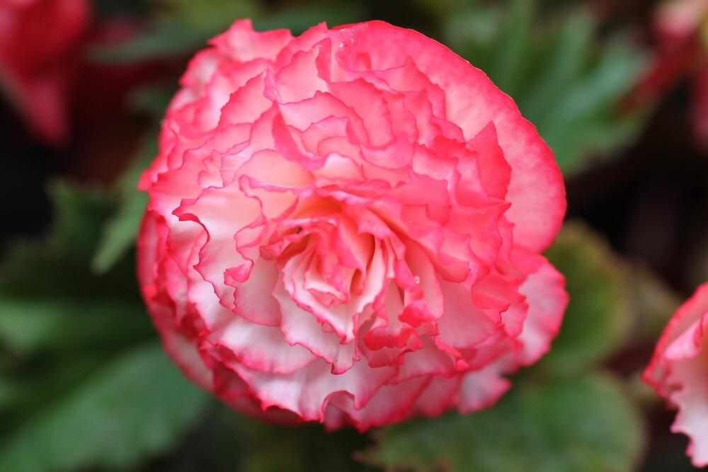 Pink and White Carnation by PoetCRS