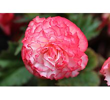 Pink and White Carnation Photographic Print