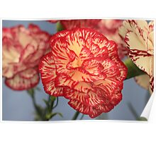 Yellow and Red Carnation Poster
