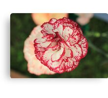 White Red Tipped Carnation Canvas Print