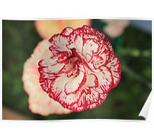 White Red Tipped Carnation Poster