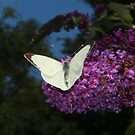Large White, by AnnDixon