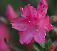 Pink Azalea2 by Tammy Roberts