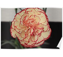 Yellow Red Tipped Carnation Poster