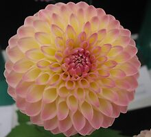Yellow Pink Tipped Chrysanthemum by PoetCRS