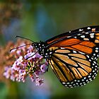A Monarch Butterfly by Chris Lord