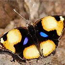 African Butterfly Series - FEMALE YELLOW PANSY - Genus Junonia,   Pansies by Magaret Meintjes