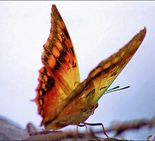GREEN VEINED CHARAXES - (Charaxes candiope)  by Magaret Meintjes