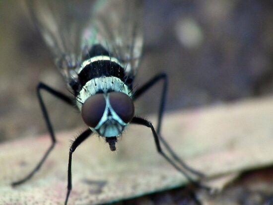 Fly - Closeup I by kutayk