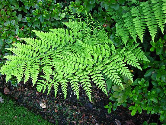 Fabulous Ferns by BlueMoonRose