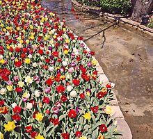 Tulips beside stream by alanball