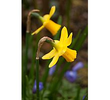 Early Spring Daffodils Photographic Print
