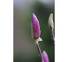 Magnolia Spear Photographic Print