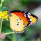 """""""BUTTERFLY"""" AFRICAN MONARCH - *Danaus chrysippus aegyptius* by Magriet Meintjes"""