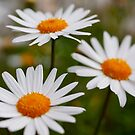 Daisies in my garden always make me smile. by chasingsooz