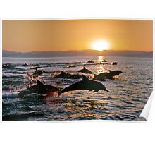 Long-beaked Common Dolphins at Sunset Poster