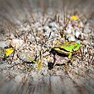 Little Green Frog by James Zickmantel