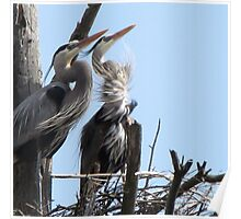 Great Blue Herons Majesty Poster