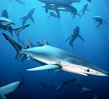 Blue Sharks Massing by Michael S Nolan