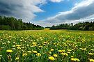 Dandelion Meadow by Martins Blumbergs